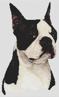 Boston Terrier II