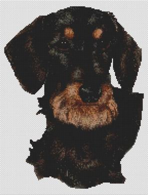 Black and Tan Wirehaired Dachshund