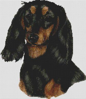 Dachshund - Longhaired Black and Tan
