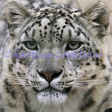Small Snow Leopard Stare