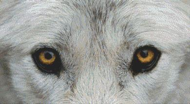 Through the Eyes - Grey Wolf