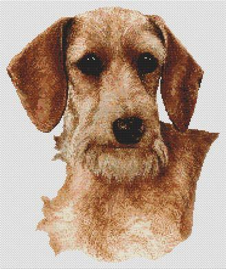 Wirehaired Dachshund - Wheaten