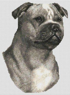 Staffordshire Terrier - Blue & White